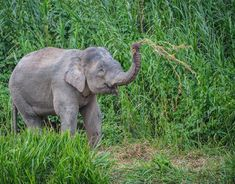 Photo by @andywcoleman //The Borneo elephant often referred to as the pygmy elephant is much smaller than its African counterparts but still manages to eat 300 pounds of food and drink over 40 gallons of water a day.  We were lucky to be able to see a large herd of these amazing creatures on the banks of the Kinabatangan River.  They spent the entire afternoon pulling up long grasses and eating them before heading over to the river for a drink. #NatGeoLodges #sukaurainforestlodge by…