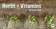Dog owners are becoming more interested in using herbs to support their dog's immune system to treat illness.  Many are aware of the value of using echinacea for something like a cold, slippery elm for an …