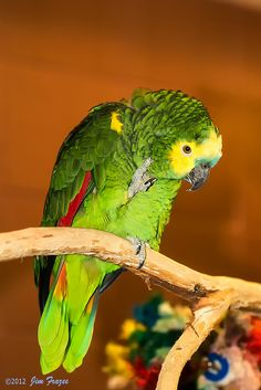 Parrot Craft, Parrot Pet, Parrot Toys, Exotic Birds, Colorful Birds, Baby Animals Pictures, Animals And Pets, Parrot Stand, Amazon Parrot