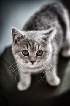 British short hair kitten - SO cute!