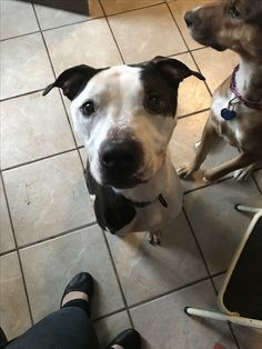 Adopted February 2017! Stanley is a 1.5 year old pitbull mix that nearly starved to death after something was caught in his stomach. He regained the weight after surgery and lots of TLC. Stan likes kids, cats, and dogs and is great in the car!