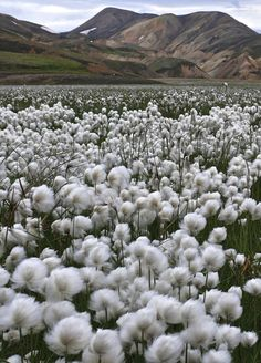 Iceland, love these cotton flowers