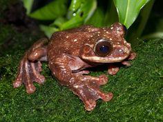 Adiós, Toughie: The Last Known Rabb's Fringe-Limbed Tree Frog Dies in Atlanta