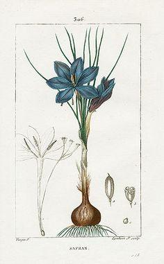 Turpin Botanical Prints 1815 - Saffron   Crocus sativus - very interesting prints available at the link (not free).