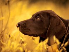 German Shorthaired (Chris McKay via National Geographic) #germanshorthaired #gsp