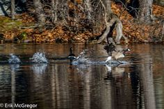 TAKE OFF  - Composition Friday #outdoors #outdoorlife  #hiking #camping #bluemountain #forest #lakeside #reflectionphotography #reflectionphoto #naturephotography #geese #takeoff #nature                     © Erik Mc Gregor - erikrivas@hotmail.com - 917-225-8963