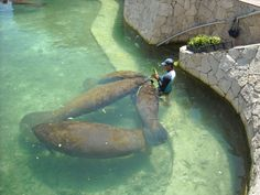 Swimming with manatees in Mexico So amazing!!!