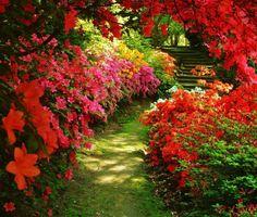 Such a beautiful garden path of azalea's.