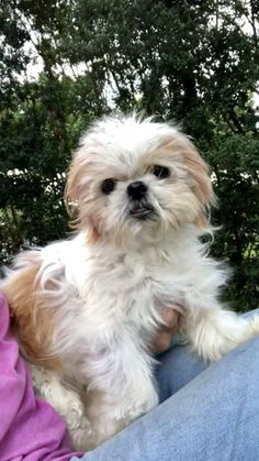 Frankie's web page on Shih Tzu Rescue, Inc. | Adoptable Dogs Havanese Puppies, Yorkie Puppy, Maltese Dogs, French Bulldog Puppies, Small Dog Rescue, Rescue Dogs For Adoption, Tiny Puppies For Sale, Dogs And Puppies, Shih Tzu Rescue