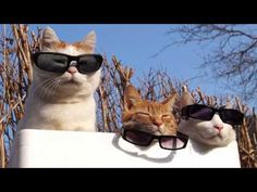 Spare a couple of minutes & hang out with these cool cats. The shironekoshiro cats are famous for not minding having random objects put on their bodies. This time their owner turned them into one long Deal With It response. Funny Cat Videos, Funny Cats, Funny Animals, Cute Animals, I Love Cats, Crazy Cats, Cool Cats, Cat Sunglasses, Cat Aesthetic