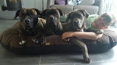 Cane Corso, Switzerland, Labrador Retriever, Dogs, Animals, Labrador Retrievers, Animais, Animales, Animaux
