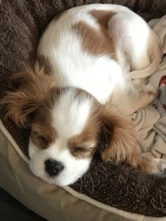 Excellent Spaniels detail is readily available on our internet site. Take a look and you wont be sorry you did. King Spaniel, Spaniel Puppies, King Charles Spaniel, Cocker Spaniel, Puppies And Kitties, Cute Puppies, Cute Dogs, Doggies, Cute Funny Animals