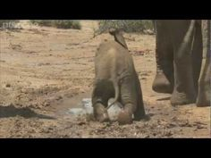 Learning to be an elephant/operate their trunks in Samburu - Planet Earth Live - BBC One