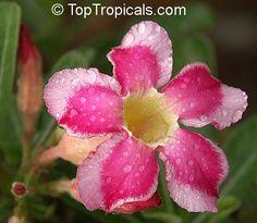 Adenium sp. variegatum, Variegated Desert Rose