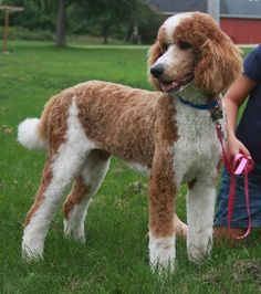 Red & White Parti, Standard Poodle #poodle
