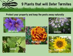 9 plants to deter termites Don't let termites destroy your home or property