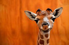 Girafon mignon