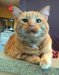 Dacey is an adoptable Bobtail Cat in Waterloo, IA. If this beautiful face looks familiar to you, its because it belongs to a shelter favorite... Miss Dacey! Dacey was adopted after being a resident at...