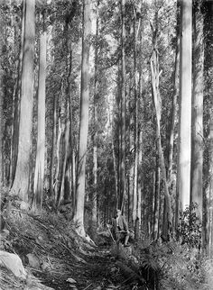 """""""Man standing on bush track surrounded by gum trees (Mt Donna Buang, The photograph is sourced from the State Library of Victoria."""" via Glenn Tempest Melbourne Victoria, Victoria Australia, Old Photos, Vintage Photos, Biomass Energy, Yarra Valley, Man Standing, Heartland, Art Sketches"""