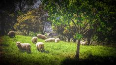 Portraits, Daily Photo, Sheep, Photo Gifts, Fine Art, Photo And Video, Landscape, Nature, Design