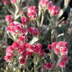 Parpian Antennaria dioica Rubra Plants, Red, Plant, Planets