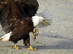 Out of my way! Bald Eagles by Val Brackenridge