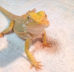 Bearded Dragon chillaxing after a bath.