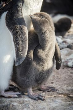 Adelie Penguin chick looking towards parent