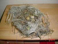 This article describes a project that started when two children discovered a bird's nest on their playground.So many rich opportunities for discovery and learning evolved over time.