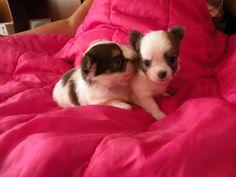 Hanka 4 týždňový psi Psi, Dogs, Animals, Animales, Animaux, Pet Dogs, Doggies, Animal, Animais