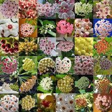 Resultado de imagen para hoya carnosa variedades