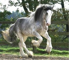 blue roan clydesdale....this horse is soooo pretty