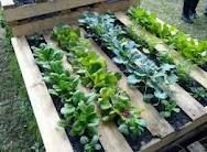 Great gardening idea for those with no yard or anyone else who hates to weed but wants to grow their own veggies. An old pallet with yard fabric stapled to one side and filled with dirt is all you need!