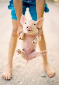 this little piggy. more baby pigs! Animals And Pets, Baby Animals, Funny Animals, Cute Animals, Fox Terriers, This Little Piggy, Little Pigs, Mundo Animal, My Animal