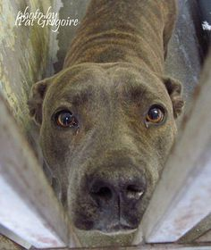 08/19/15-in great danger please adopt or foster with local rescue to save. California, Baldwin Park Animal Control - A4853329 I am a very friendly 3 yr old female br brindle pit bull mix. I came to the shelter as a stray on July 8. available 7/12/15 I share these photos to help get these dogs seen and hopefully find homes. I do not work for the shelter nor do I rescue or pull. If you are interested in this