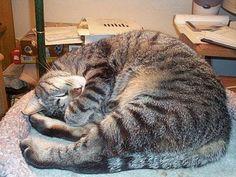 Domestic Shorthair cat  ..   Brown mackerel tabby DSH