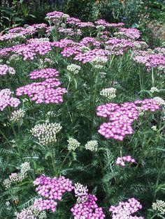Achillea Fiesta -- Bluestone Perennials, Inc