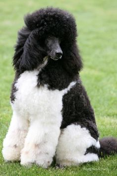 Major It's hard to understand why the AKC excludes these magnificent creatures, the Parti-Poodles.