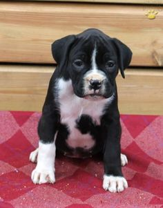 fawn, Brindle boxer puppies, Available Boxer Puppies for