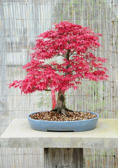 Japanese Maple. We have a couple of full sized Japanese Red Maples at our house that I will miss when we sell the house. A bonsai would be great at our condo.