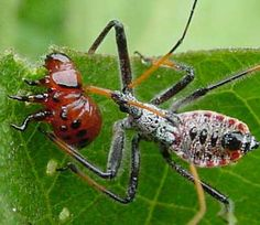 Google Image- keep seeing assasin bugs in garden instead of praying mantis.  Is this a good bug?