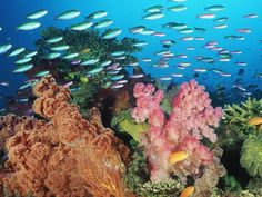 Coral Landscape With Soft Corals and Fish Fiji