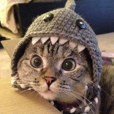 Almost put it on your gift board because Kitten needs a shark hat.: Petslady S Pick, Funny Cats, Shark Kitty, Cute Animals, Kitty Shark Baby Animals, Funny Animals, Cute Animals, Funniest Animals, Animals Images, Cute Kittens, Cats And Kittens, Cats In Hats, Crazy Cat Lady
