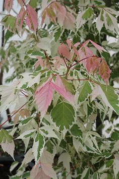 Click to view full-size photo of Flamingo Boxelder (Acer negundo 'Flamingo') at Connon Nurseries CBV