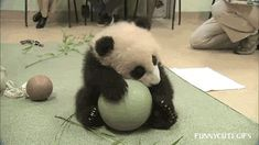 Ignore the thread this Gif came from, it has nothing to with the baby Panda