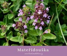 Mateřídouška úzkolistá Edible Plants, Detox, Herbs, Gardening, Syrup, Lawn And Garden, Herb, Horticulture, Medicinal Plants