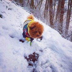 【pino_adventure】さんのInstagramをピンしています。 《Hello my friends 🐶 In the mountains, one of the most important thing is to find the best route 🐶 Follow me where I'll go🐶 . 僕は、ルートファインディングが得意なんだよ🐶 大丈夫、僕についておいで🐶 . #japan #nature #naturelovers #landscape #landscape_captures #dog #dogoftheday #instadog #doglife #doglover #toypoodle #winter #mountains #snow #forest #hiking  #東北 #秋田 #大館 #鳳凰山 #冬 #山 #雪 #犬 #トイプードル #登山 #自然 #森  #駆け抜ける #田舎暮らし》