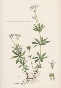 Botanical Print Asperula odorata Galium by AntiquePrintGarden
