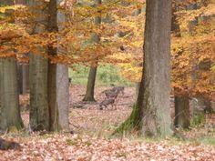Sikahirsche im Arnsberger Wald