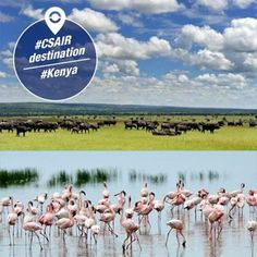August is the time when thousands of #wildbeasts and zebras cross the Mara River to reach the#Maasair Mara Safari in #Kenya, their destination. Grab your camera and watch #Great Migration. Time to start the wildlife spectacle…#CSAIR